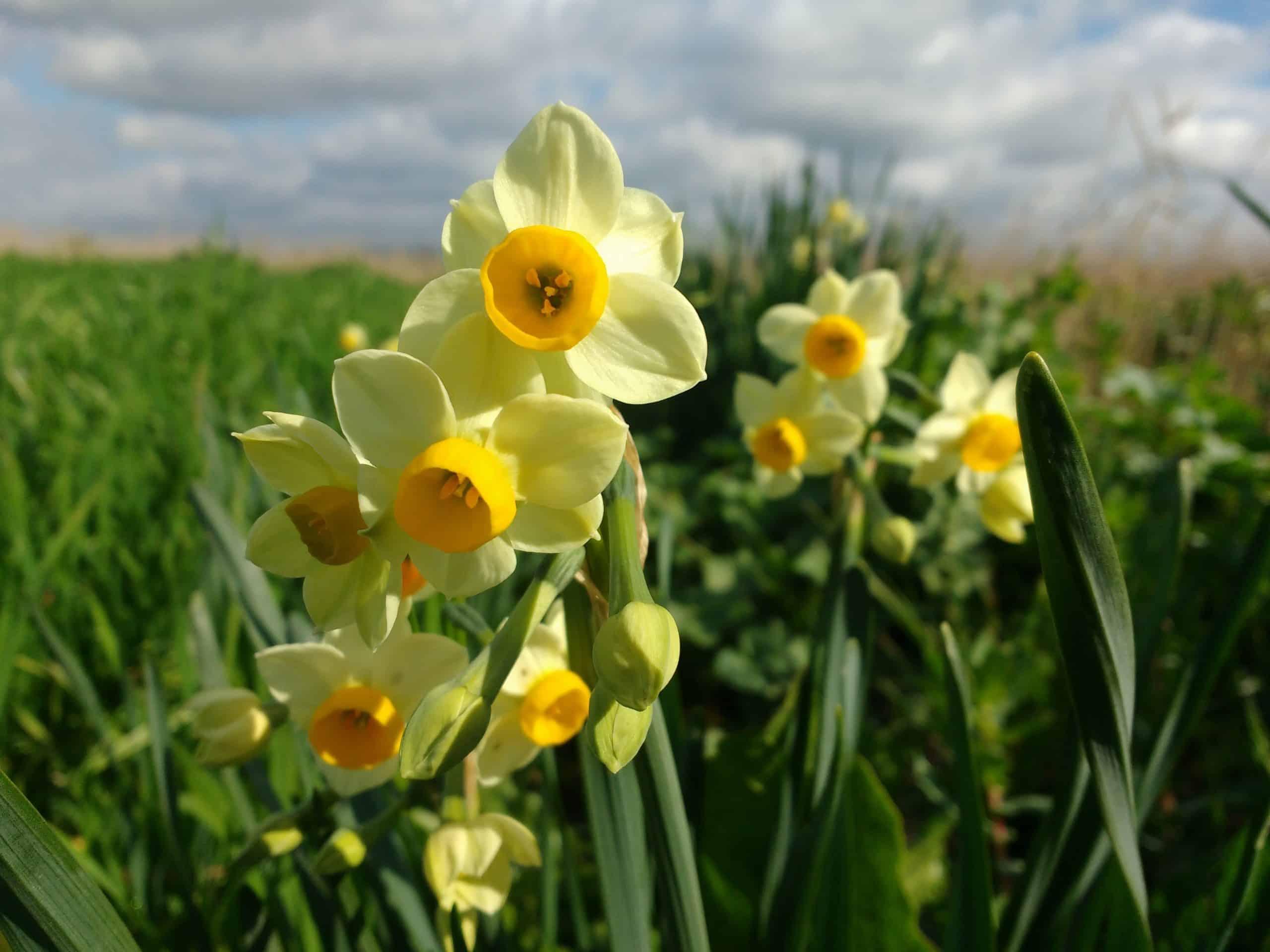 fiori spontanei su campo di grano Su Mori