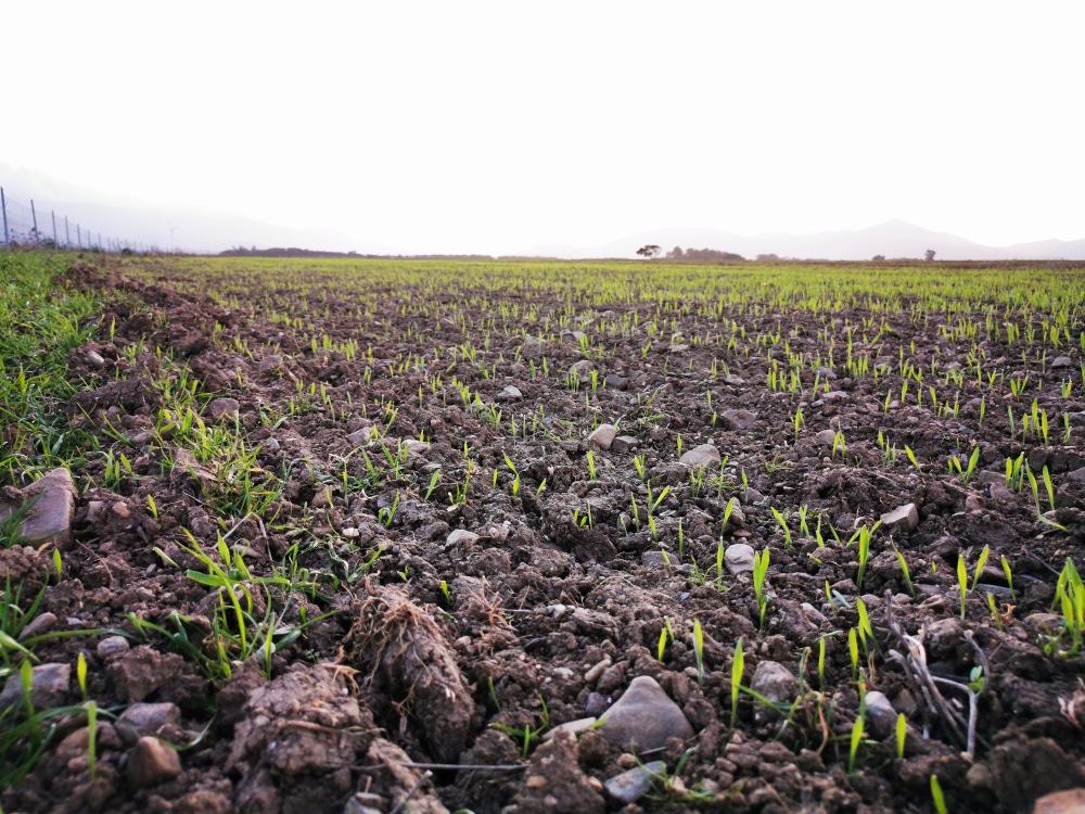 germinazione campo di grano duro mulino Su Mori