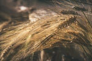 semola di grano duro sarda